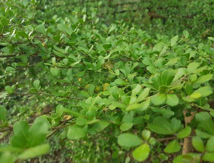 talisay-tree-philippines
